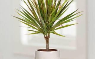Комнатное растение драцена как ухаживать