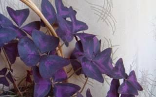 Комнатный цветок бабочка как ухаживать