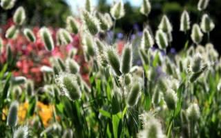 Цветы сухостои фото и названия