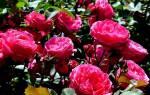 Modern sunrise роза