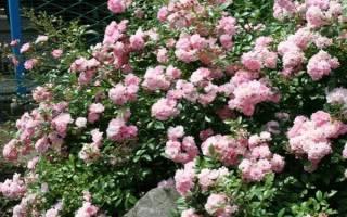 Особенности выращивания почвопокровных роз
