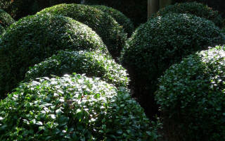 Самшит описание растения