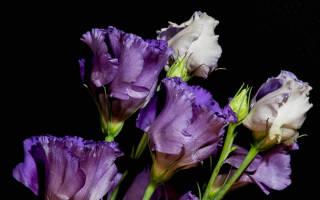 Разные подходы к выращиванию эустомы