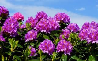 Цветок рододендрон – описание