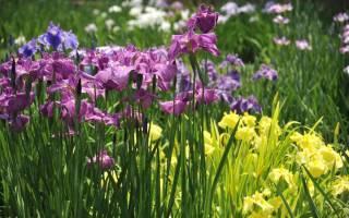 Многолетние цветы для сада ирисы с фото
