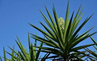 Юкка описание растения