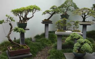 Как вырастить бонсай дома распространенные способы