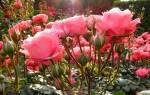 Как сохранить розы зимой дома