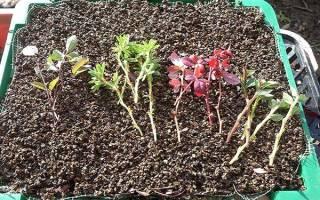 Как размножить барбарис черенками