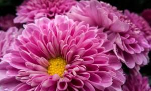 Разновидности и сорта хризантем