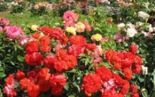 Лучшие розы флорибунда