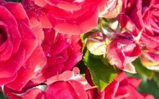 Как хранить розы зимой в подвале