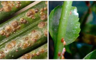 Щитовка на комнатных растениях лечение