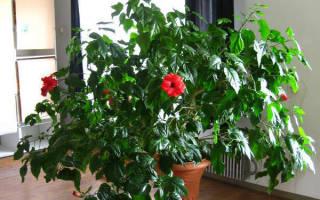 Китайская роза в доме уход