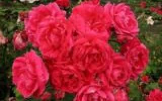 Какие розы не надо укрывать на зиму