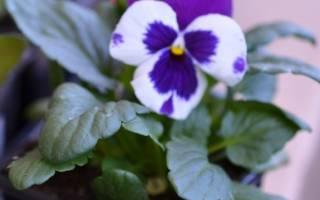 Садовая виола как правильно выращивать