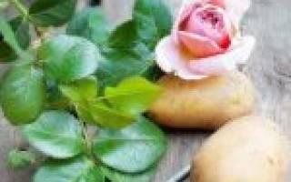Как развести розы черенками в картошке
