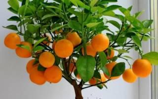 Комнатный апельсин уход в домашних условиях