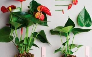 Комнатные цветы антуриум пересадка