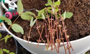 Как вырастить барбарис из черенков