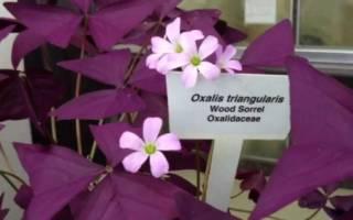Комнатный цветок с фиолетовыми листьями фото