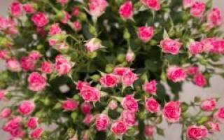 Как ухаживать за кустовой розой в горшке