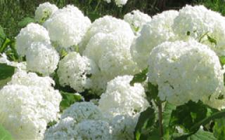 Цветы гортензия – описание