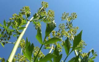 Растение любисток и его полезные свойства