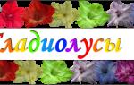 Фото гладиолусов с желтыми и оранжевыми цветами