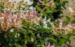 Цветы лианы садовые