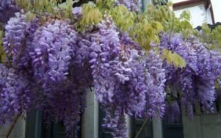 Почему не цветет глициния