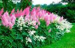 Популярные высокие цветы многолетники