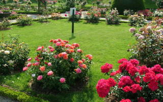 На каком расстоянии сажать розы
