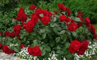 Если роза переросла в шиповник что делать