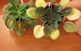 Почему желтеют листья у фиалки комнатной