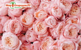 Пионные розы фото