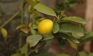 Карликовый лимон комнатный