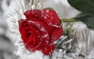 Обрезка роз под зиму