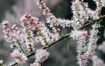 Растение тамарикс выращивание и уход
