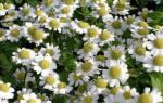 Цветы типа ромашек