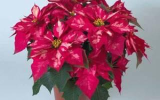 Комнатный цветок рождественская звезда уход фото