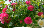 Как накрыть розы на зиму фото