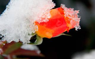 Когда приступать к укрытию роз