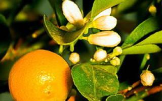 Уход за цитрусовыми растениями в домашних условиях