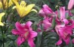 Размножение лилии зелеными черенками