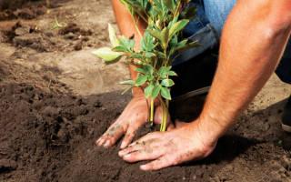 Особенности посадки пионов осенью плюсы и минусы