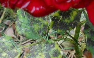 Внешние симптомы заболевания розы пятнистостью