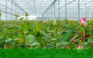 Видео «технология выращивания роз»