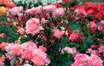 Высадка саженцев розы