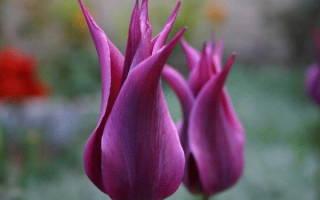 Тюльпаны лилиецветные фото